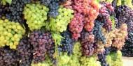 تقلبات الطقس تخفض إنتاج العنب 50 %