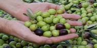 مجلس العمال يختتم الفعاليات التطوعية لجني ثمار الزيتون